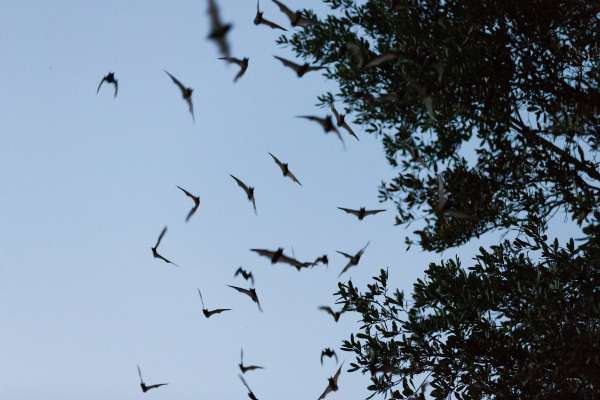 Bats emerge from the UF Bat Barns